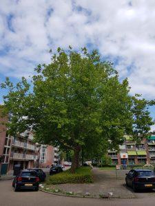 Gloriantplantsoen bedrreigde boom